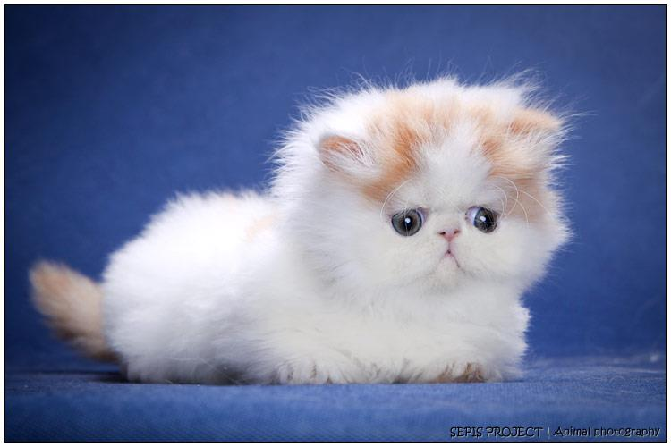 Teacup persian kittens for sale toronto