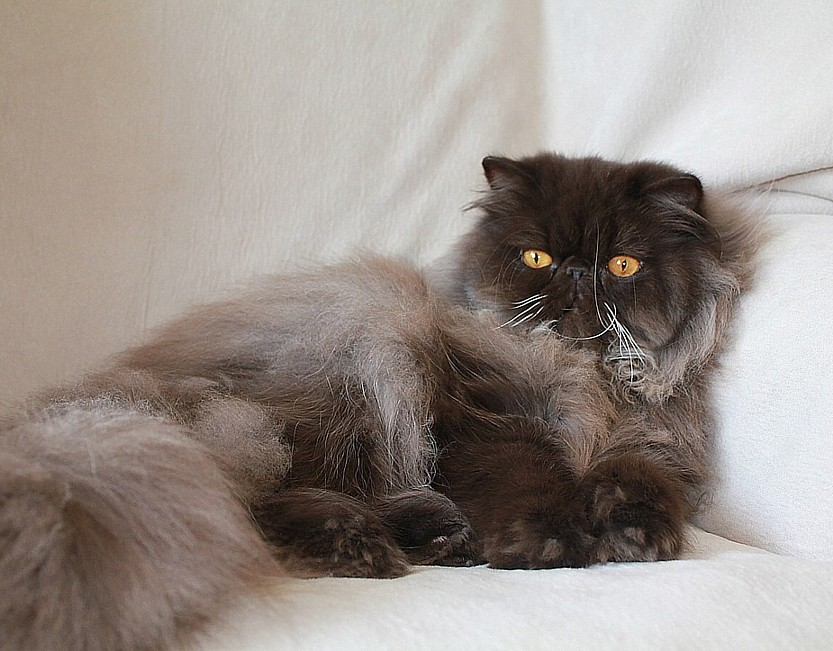 Alfenloch Persian kittens, Ontario, Canada and Himalayan kittens ...