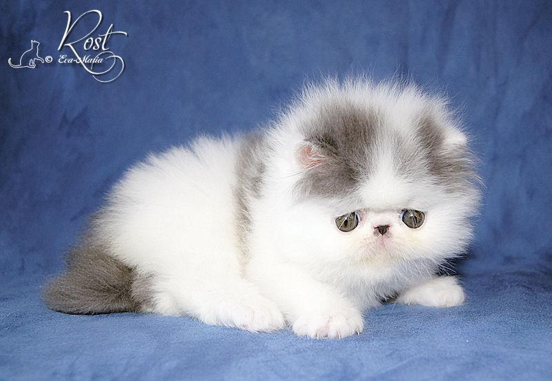 Alfenloch Persian kittens, Ontario, Canada and Himalayan kittens